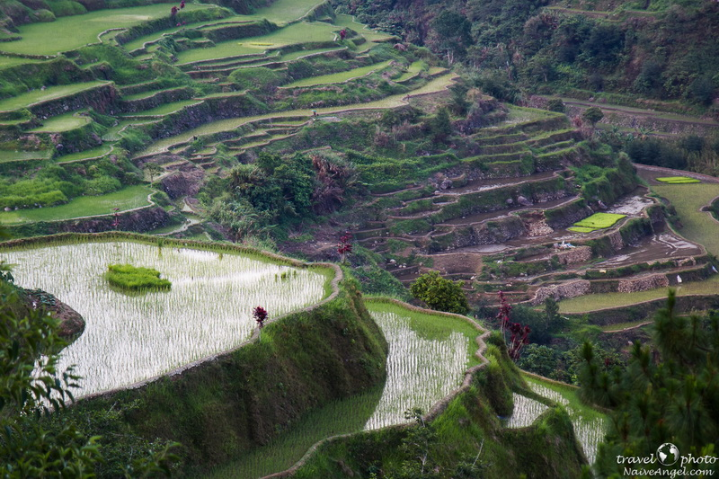 проростающий рис,banaue,rice terraces,philippines