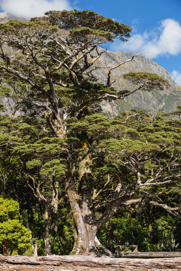 big tree, Milford Sound, Fjord land, Fjordland National Park,South Island ,New Zealand