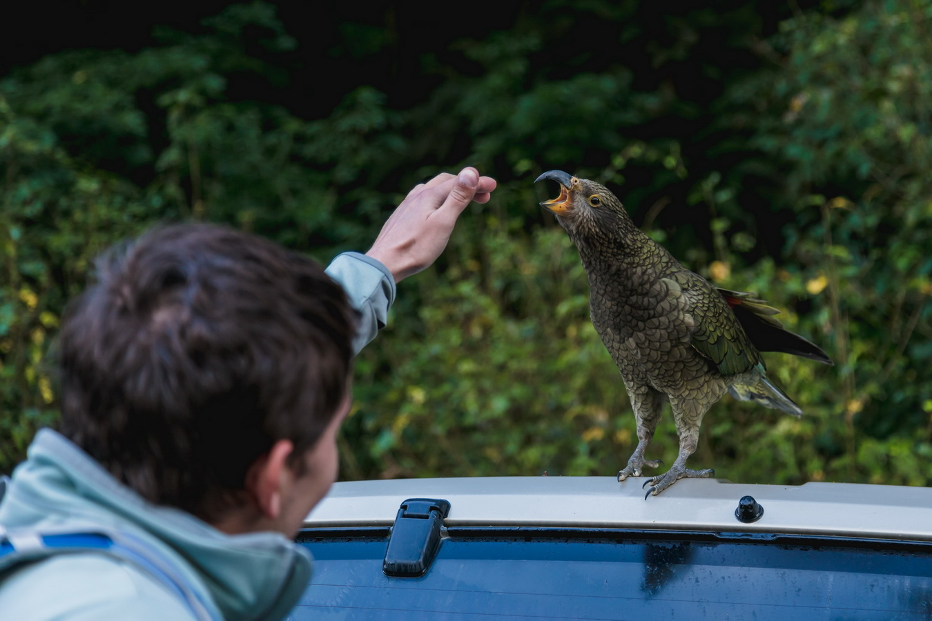 big mounting parrot, kea, Milford Sound, Fjord land, Fjordland National Park,South Island ,New Zealand