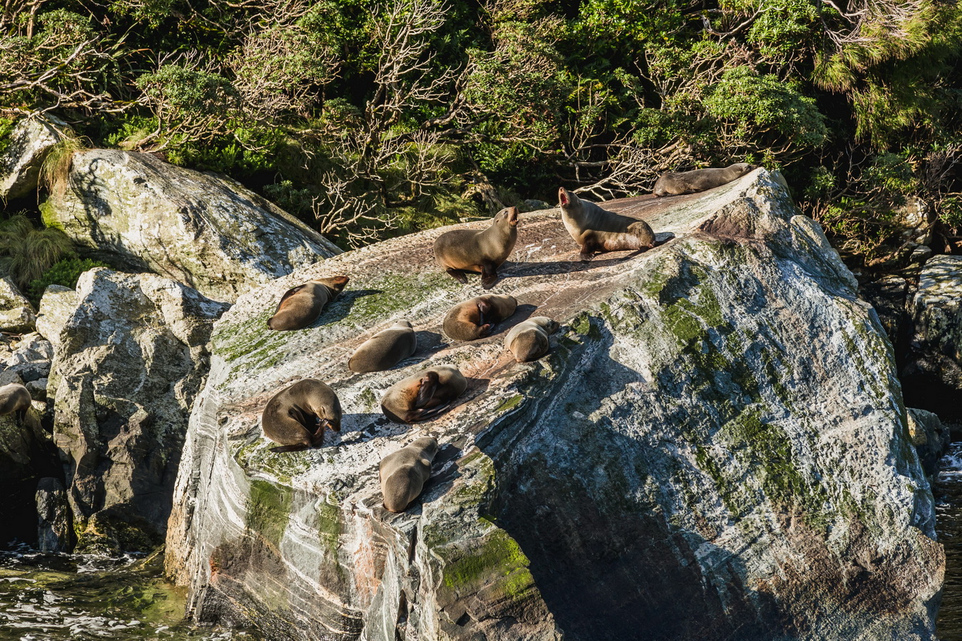 seals, Milford Sound, Fjord land, Fjordland National Park,South Island ,New Zealand