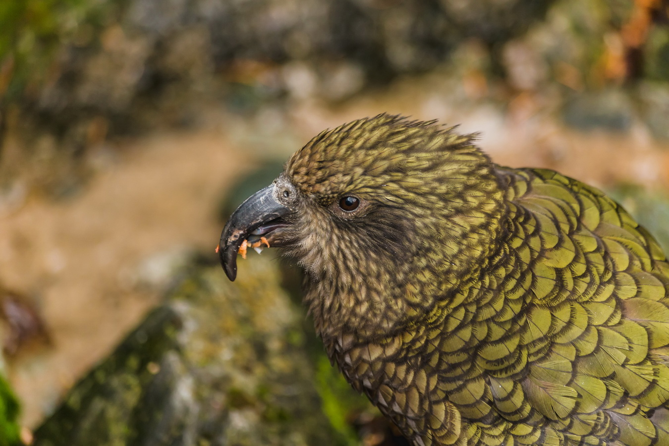 kea parrot,Kiwi Birdlife Park,Queenstown,South Island ,New Zealand