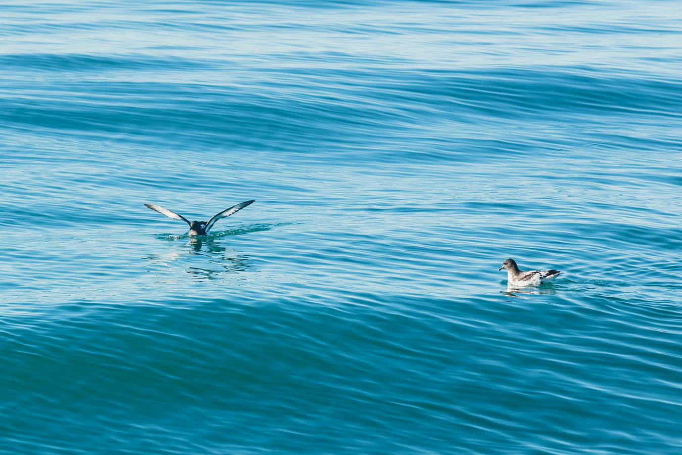 birds, Kaikoura,Whale Watch Tour, South Island ,New Zealand