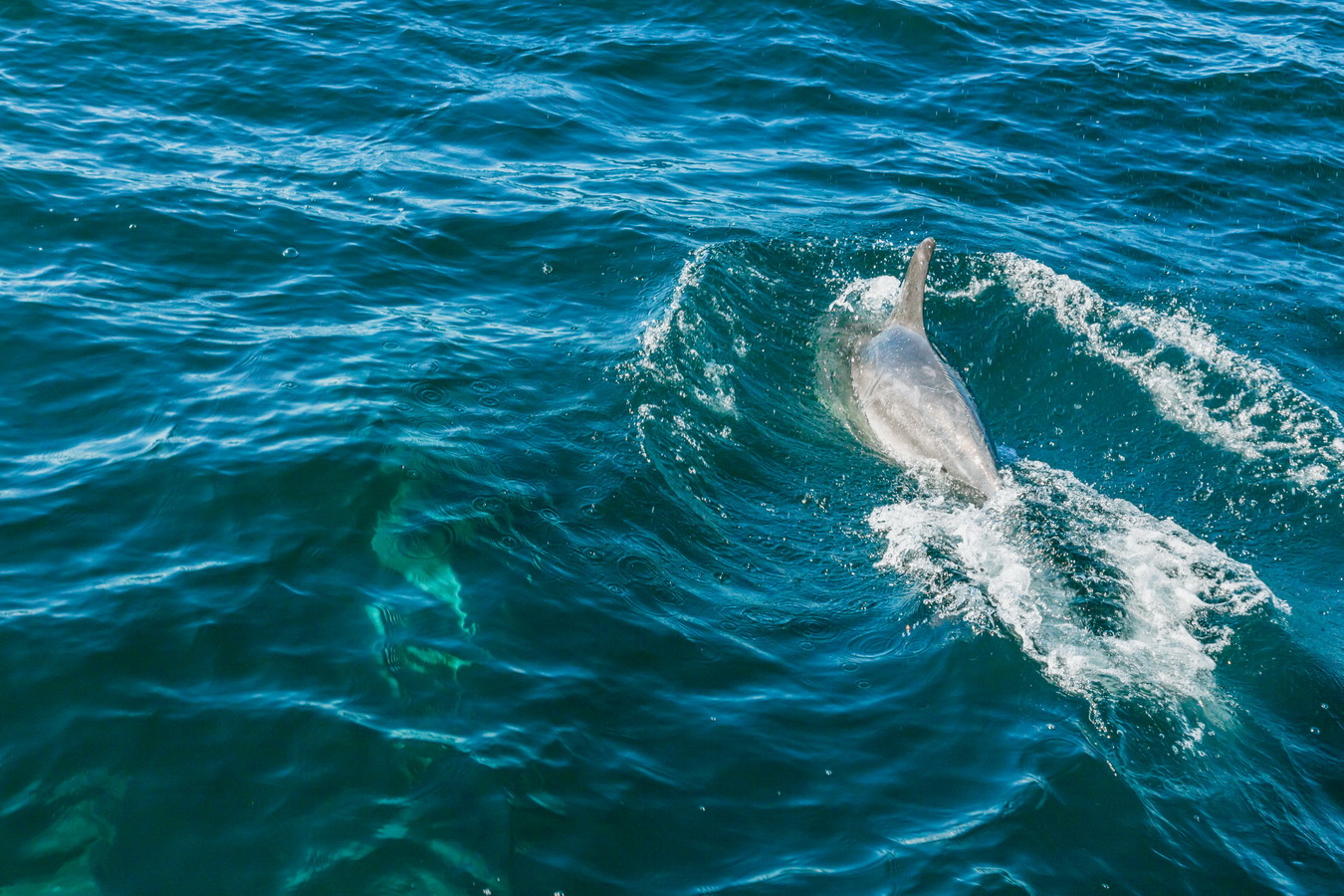 dolphin, Kaikoura,Whale Watch Tour, South Island ,New Zealand